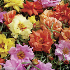 PORTULACA  Flower - MOSS ROSE - DOUBLE MIX - 50 FINEST SEEDS