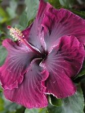 50 Back Dragon Cajun Hibiscus Flower Seeds Garden & Home Perennial Flower