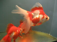 Live Red and White Ryukin  Goldfish (L) for aquariums and ponds