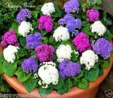 SPECIAL MIX Ageratum - FLOSS FLOWER DWARF - SEPARATE THREE COLOURS - 2400 seeds
