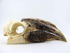 Piping Hornbill Bird Skull WC20403 Taxidermy REAL