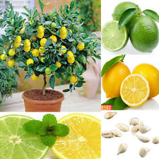 10pcs Rare Lemon Tree Seeds Garden Fruit Plants Seed Indoor Outdoor Available