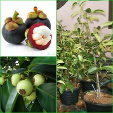 "Thai Mangosteen Grafted Plant Garcinia mangostana ""Queen of fruit"" :TP02"