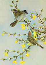 Blackcap - 1980 Vintage Bird Print by Basil Ede