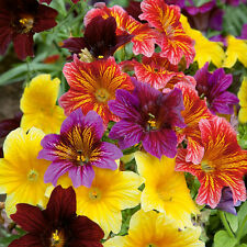 Flower seed - PAINTED TONGUE - Scalloped Tube - Salpiglossis sinuata