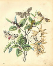 Butterfly, Moth, Cocoon, Natural History, Vintage 1861, Antique Art Print,