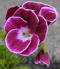 Black Knight Angel Pelargonium / Geranium  x 1 Plant