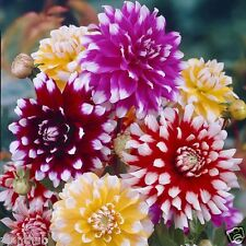 Flower Seed - DAHLIA - Decorative Double Mixed Colour Flower - Pack of 30 seeds.