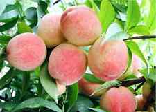 4 Peach Tree Seeds Sweet Peaches Peach Heirloom Organic Friut Seed S023