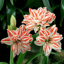 100pcs Mix Colors 18 Kind Amaryllis Seeds Barbados Lily, Amaryllis Flower