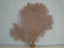 "12.8""x 12.8"" Pacifigorgia Red Sea Fan Seashells Reef Coral"