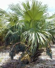 Livistona chinensis - Chinese Fan Palm - 10 Seeds