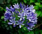25+ Purple Lily of the Nile Agapanthus Flower Seeds / Long Lasting Perennial