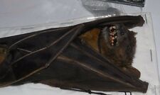 CYNOPTERUS SPHINX REAL HANGING BAT INDONESIA TAXIDERMY