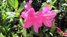 Azalea Encore 'Autumn Royalty', repeat blooming azalea