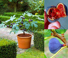 DWARF Fig tree Ficus carica Blue Fig 'Brogiotto' indoor or outdoor! SEEDS.