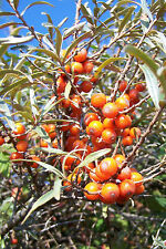20 Sea Buckthorn 2-3ft Edible Coastal Hedging, Hippophae Rhamnoides 60-90cm