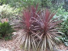 PURPLE CABBAGE TREE (Cordyline australis 'Purpurea') 30 seeds