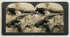 USA Florida AT ALLIGATOR FARM * Vintage 1900s KEYSTONE Stereo Photo