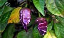 15 seeds PURPLE Ghost Pepper Bhut Jolokia Extremely RARE Hot Spicy Heirloom