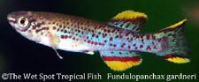"(1) 1.5"" PAIR Gardneri Killifish TR Fundulopanchax gardneri Live Fresh Tropical"