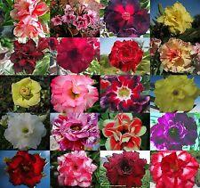 """NEW! Adenium Obesum Desret Rose """"Mixed 20 Type 110 Seed RARE"""