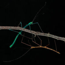 "10x Myronides sp. ""Peleng"" stick insect eggs/PHASMID OVA green turquoise species"
