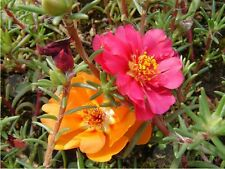 Flower seed - 200 Portulaca grandiflora MOSS ROSE MIXED COLORS