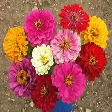 500 ZINNIA CALIFORNIA GIANT ELEGANS MIX SEEDS, FLOWER, NON GMO + FREE GIFT*