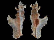 Pterynotus elongatus - Shells from all over the World