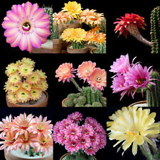 Echinopsis hybrid mix 10 seeds * Fragrant * Cactus * Huge Showy Flower * CombSH