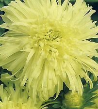 Flower Seeds Aster Izabela (Callistephus chinensis) Flowers