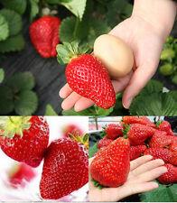 """RIESENERDBEEREN - Die größte Erdbeere der Welt """"Giant"""" - ca. 50 Samen"""
