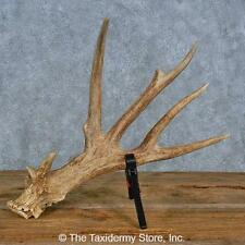 #15450 P   Whitetail Deer Taxidermy Antler Shed For Sale