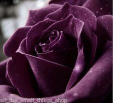 100 x Rare Purple Rose Flower Seeds - Garden Planter Pots - 10% off 2+