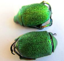 Chrysophora chrysochlora PAIR Beetle Sparkling GREEN Taxidermy REAL Insect