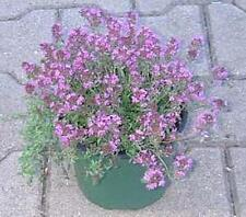 Herb Seeds - Thyme Aromatic Seeds