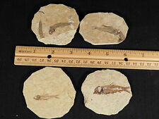 Lot of FOUR! NICE 50 Million Year Old 100% Natural Fossil Fish Wyoming 139.6gr