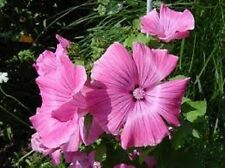 30+ Malva Bright Pink Flower Seeds / Perennial