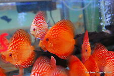 Checkerboard Pigeon Discus, Medium - Beautiful Live Tropical Fish Discus Cichlid