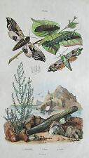 Gravure en couleur XIXè s. Smérinthes Solen Soude. Papillons. Circa 1837