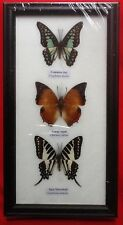 3 REAL BUTTERFLIES BUTTERFLY TAXIDERMY INSECT PICTURE FRAME JAY SPOT SWORDTAIL