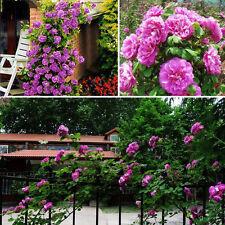New 100pcs Purple Climbing Rose Seeds Perennial Flower Home Garden Decor