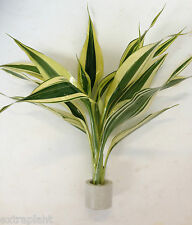 2 Stems Dracaena variegatus RARE Lucky Bamboo Live Feng Shui Plant BUY2GET1FREE*