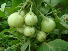 Apple Green Eggplant seed No need to peel Extra early 50 seed