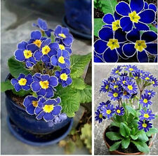 100Rare Blue Evening Primrose Easy to Plant Garden Flower Fashion Charm Seeds FS