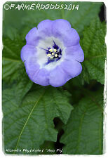 "Nicandra physaloides ""Shoo FLY"" [ SYN. Nicandra Physalodes ] 50 + semi"
