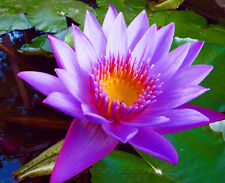10 Seeds Purple Daisy Lotus Seeds China Rare Fragrance Water Pond Plants