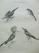 Impression antique Gravure c1880s tenuirostres oiseaux Kingfisher Creeper BEE EATER