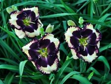Daylily Seeds (The Dark Side x The Dominator) (7) Seeds